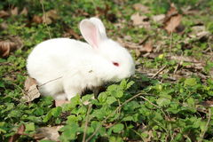 mini królik. Zdjęcie Royalty Free