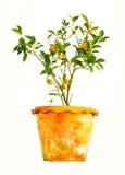 Mini laranja Foto de Stock