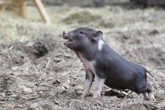 Mini leitão do porco diminuto pequeno no jardim zoológico de trocas de carícias Imagem de Stock