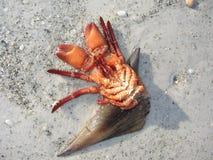 Mini-lobster-4318 Stockfotografie