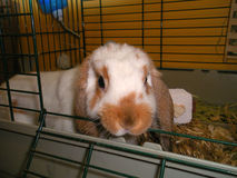 Mini Lop Ear Bunny. A young mini lop ear bunny is chewing on his cage Royalty Free Stock Photo
