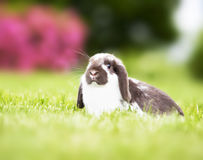 Mini lop in the grass Stock Photography