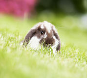 Mini lop in the grass Royalty Free Stock Photo