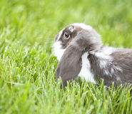 Mini lop in the grass Royalty Free Stock Photos