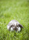 Mini lop in the grass Stock Image