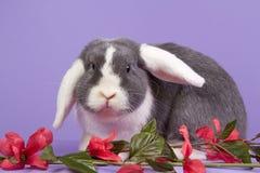 Mini-lop o coelho no fundo roxo imagem de stock royalty free