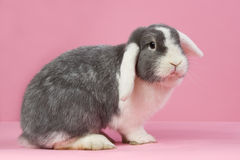 Mini-lop on a pink background. White-eared mini-lop rabbit on a pink background Royalty Free Stock Images