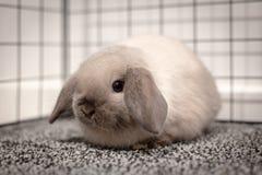 Mini Lop Rabbit royaltyfri foto