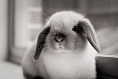 Mini Lop Rabbit arkivbild