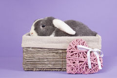 Mini-lop rabbit in basket. With pink heart Stock Photos