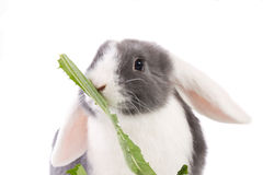 Mini-lop rabbit eating. Dutch mini-lop bunny eating a dandelion leave Royalty Free Stock Photography