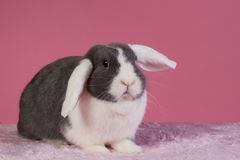 Mini-lop rabbit with pink background Royalty Free Stock Photos