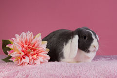 Mini-lop rabbit with pink background and flower. Mini-lop rabbit with pink flower and pink background Royalty Free Stock Image