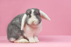 Mini-lop rabbit on a pink background Royalty Free Stock Image