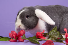 Mini-lop rabbit with pink flowers. In studio Royalty Free Stock Photography