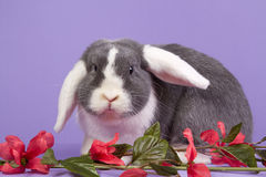 Mini-lop rabbit on purple background Royalty Free Stock Image