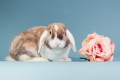 Mini-lop rabbit with rose Stock Photos