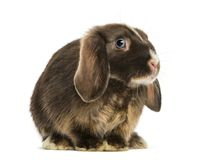 Mini lop rabbit standing, isolated. On white stock photography
