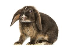 Mini lop rabbit standing, isolated. On white stock images
