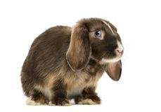 Mini lop rabbit standing, isolated Royalty Free Stock Photography