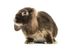 Mini lop rabbit standing,  Royalty Free Stock Photography