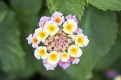 Mini- mångfärgad blomma och små knoppar royaltyfria foton