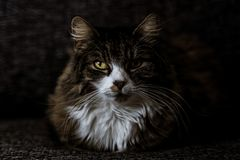 Mini Main Coon sits on a couch in indirect light with focus on the eyes stock photos