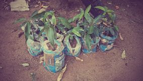 Mini Mango Trees Royaltyfri Bild