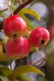 Mini manzanas rojas imagen de archivo