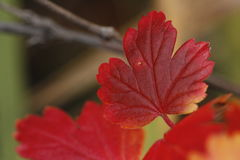Mini Maple Royaltyfria Bilder