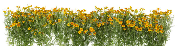 Mini marigolds isolated border Stock Photos