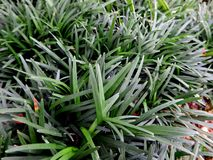Mini monda grass Royalty Free Stock Photos