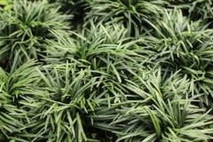 Mini Mondo Grass Royalty Free Stock Images