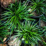 Mini Mondo Grass en jardín Imagen de archivo libre de regalías