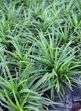 Mini Mondo Grass i den plast- svarta påsen av barnkammareväxter Ormar uppsöker växten är ett tätt örtartat vintergrönt perent grä arkivbilder