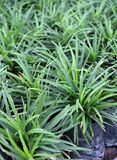 Mini Mondo Grass in the plastic black bag of nursery plants. Snakes Beard plant is a dense herbaceous evergreen perennial grass. stock images