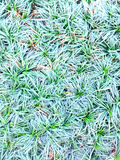 Mini mondo grass stock image