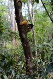 Mini Monkey-Gelb Stockfotografie