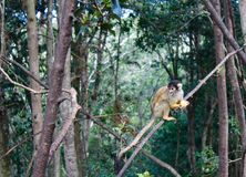Mini Monkey-Gelb Lizenzfreies Stockfoto