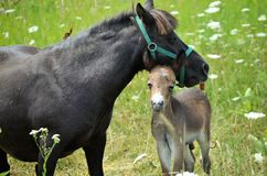 Mini Mule Foal Foto de Stock