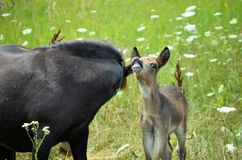 Mini Mule Foal Imagem de Stock Royalty Free