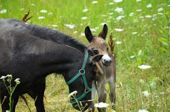Mini Mule Foal Royalty Free Stock Image