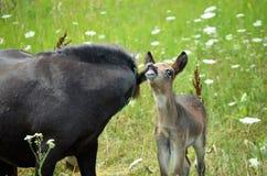 Mini Mule Foal Royalty Free Stock Image