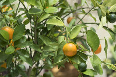 Mini orange sur l'arbre Photographie stock