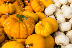 Mini Orange and White Pumpkins Royalty Free Stock Images