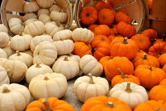 Mini Orange and White Pumpkins Stock Photo