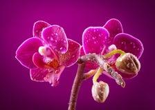 Mini orchidée Photographie stock libre de droits