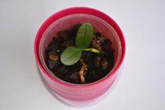 Mini orchidée (Phalaenopsis) Images libres de droits