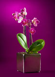 Mini orchid. On pink background Royalty Free Stock Photography