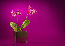 Mini orchid. On pink background Stock Images